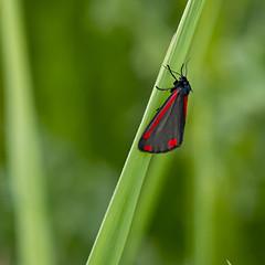 Tyria jacobaeae (Ouwesok) Tags: pentaxk500 sigmaapo456350500mmoshsm tyriajacobaeae sintjacobsvlinder vlinder insect oostvaardersplassen