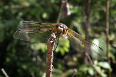 Dragonfly 002 (Irmzaq photography) Tags: nature naturephotography photography insect insectphotography dragonfly anisoptera