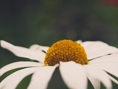 Flower Macro Bokeh | 16. Juni 2019 | Schleswig-Holstein - Deutschland (torstenbehrens) Tags: flower macro bokeh | olympus penf m45mm f18 16 juni 2019 schleswigholstein deutschland
