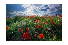 shining Poppys (SonjaS.) Tags: mohnwiese blumen blumenwiese frühling spring flowerpower flowers sonjasayer canoneos6dmarkii weitwinkelobjektiv 1635f28 germany deutschland poppyfield poppys