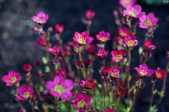 Dark PInk (gwennan) Tags: flowers color macro cute nature colors closeup walks russia moscow spring pink