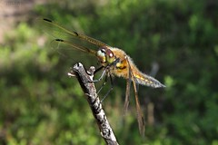 Dragonfly 001 (Irmzaq photography) Tags: photography nature naturephotography dragonfly anisoptera insect insectphotography