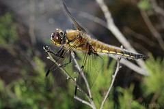 Dragonfly 003 (Irmzaq photography) Tags: dragonfly anisoptera nature naturephotography photography forest insect insectphotography
