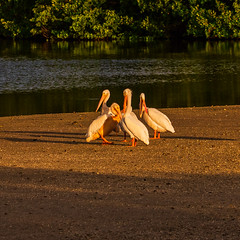 Pelican Club Meeting (Jim Liestman) Tags: dingdarlingnwr whitepelicans birds pelicans florida