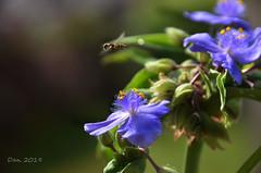 Il volo (♥danars♥) Tags: fiori insetti estate