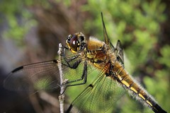 Dragonfly 005 (Irmzaq photography) Tags: dragonfly anisoptera nature naturephotography photography insect insectphotography forest trollslända