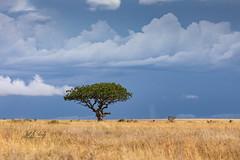 Storm Over The Serengeti (Jill Clardy) Tags: africa location tanzania vantagetravel safari simiyuregion 201902239l8a0376 serengeti national park acacia tree clouds cloudy