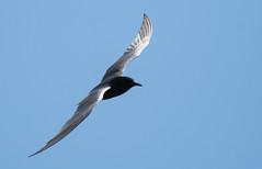 Black Tern (FluvannaCountyBirder754) Tags: tuttle kiddercounty northdakota tern blacktern animal creature nature outdoor outdoors outside nikon nikond500 flight bluesky birdwatching bird birder birding birds