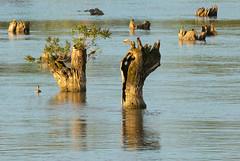 Tree Stumps in the Danube (Rachel Dunsdon) Tags: 2019 danube serbia tree stumps