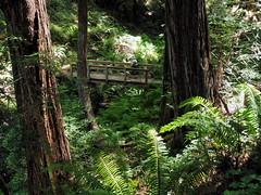 Noah ahead (LeftCoastKenny) Tags: purisimacreekredwoods hiker trees brush ferns bridge