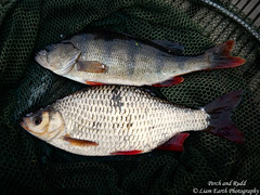 Perch and Rudd (liamearth) Tags: fish lake river ichthyology freshwater water spinner spoon lure fishing angling animal wildlife species outdoor fins worm hook earth sport england body scales dorsal abstract artistic mouth eye portrait rounded lincolnshire protrusable carassius bronze reflection macro red golden surface common rudd scardinius erythrophthalmus gold fishportrait fishart perch perca fluviatilis stripes keepnet predator prey