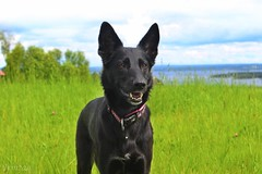 Billie 001 (Irmzaq photography) Tags: nature naturephotography photography animal pet animalphotography dog shepherdmix huskymix blackdog summer
