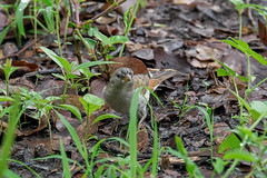 Южный сероголовый воробей, Passer diffusus luangwae, Southern Grey-headed Sparrow (Oleg Nomad) Tags: южныйсероголовыйворобей passerdiffususluangwae southerngreyheadedsparrow африка замбия луангва птицы bird aves africa zambia luangwa