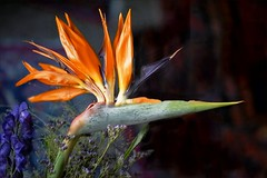 Paradiesvogelblume, Strelitzia reginae (Mejxu) Tags: paradiesvogelblume strelitziareginae strelitziaceae birdofparadise craneflower
