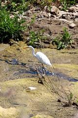 Egret (seventh_sense) Tags: malibu creek state park california nature outdoor outdoors white great egret bird wildlife river stream brook feathers