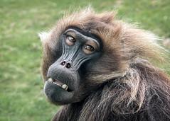 Ethiopia's Gelada Monkey (helenehoffman) Tags: africa africarocks theropithecusgelada conservationstatusleastconcern semienmountains mammal gelada grass oldworldmonkey monkey sandiegozoo ethiopianhighlands animal alittlebeauty coth fantasticnature coth5
