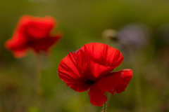 Poppy love (odell_rd) Tags: poppy tamronsp90 coth5 backlit ngc npc