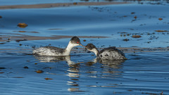 Blanquillo, Silvery grebe, Podiceps occipitalis (Andres Puiggros) Tags: d500 altiplano arica chile lauca nature nikon travel blanquillo silverygrebe podicepsoccipitalis aves bird birds birdwatching wildlife