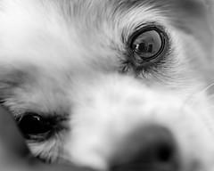 amiga del alma (risaclics) Tags: black white 60mmmacro animals closeup dogs eyes june2019 nikond610 risa face monochrome pets blackandwhite