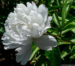 Peony (White) (Jim Frazier) Tags: 2019 2019cantigny 20190602cantigny beautiful beauty biota bloom blooming blossoming blossoms bluesky botanic botanicgardens botanicalgardens cantigny cantignypark closeup detail donehighrestocantigny donehighrestolizcantigny dupage dupagecounty flora floral flowering flowers forbs formalgarden gardening gardens horticulture il illinois jimfraziercom june life living lonely lonesome macro museums natural nature one paeonia paeoniaceae parks peonies peony perennials petals f10 fastpictures instagram
