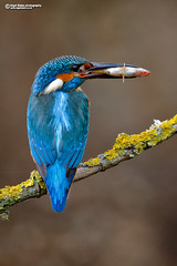 Common Kingfisher, Alcedo atthis. (Nigel Blake, 18.5 MILLION views! Many thanks!) Tags: commonkingfisher alcedoatthis common kingfisher alcedo atthis male wild bird uk rspb