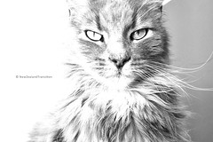 front portrait of Max bw (hueymilunz) Tags: nz newzealandtransition newzealand wellington portrait android cat pet bw light closeup