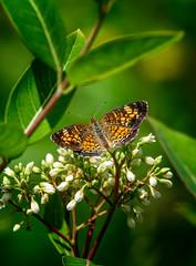 Sweet Dancer (Portraying Life, LLC) Tags: dbg6 da3004 dfa5028macro hd14tc k1mkii michigan pentax ricoh unitedstates butterfly closecrop handheld nativelighting dogbane wild meadow shrub