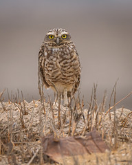 Pequen, Burrowing owl, Athene cunicularia (Andres Puiggros) Tags: d500 altiplano arica chile lauca nature nikon travel pequen burrowingowl athenecunicularia aves bird birds birdwatching wildlife