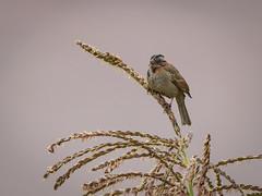 Chincol, Rufous collared sparrow, Zonotrichia capensis (Andres Puiggros) Tags: d500 altiplano arica chile lauca nature nikon travel chincol rufouscollaredsparrow zonotrichiacapensis aves bird birds birdwatching wildlife