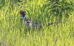 Ring-necked Pheasant (Laura Erickson) Tags: saxzimbog stlouiscounty phasianidae birds ringneckedpheasant minnesota species places galliformes phasianuscolchicus
