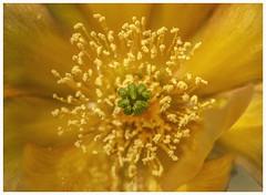 Cacti #16 2019; Prickly Pear-Opuntia Blossom (hamsiksa) Tags: plants flora desertplants xerophytes succulents desert sonorandesert cactus cacti cactaceae flowers blooms blossoms arizona tucson pimacounty macro pricklypear opuntia cactusflowers stilllife stilllifes botanicals