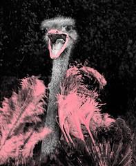 PRIDE (FotoGrazio) Tags: freetodownload joke cute fotograzio selectivecolor mouth photoeffect animal lgbt feathers waynegrazio bird silly photomanipulation fabulous waynesgrazio divine birds happypride glamour glamor gaypride flightlessbirds pinklips ostrich phototoart hilarious flamboyant waynestevengrazio beautiful animals funny lovely pride happy pretty crazy pink pinkfeathers lgbtqi