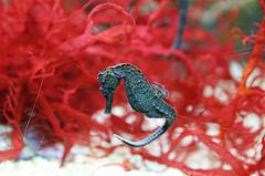 I Dreamt I was a Seahorse. (kirstiecat) Tags: sheddaquarium aquarium marinelife marine seahorse red coral coralreef dream dreams beautiful