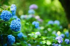 Hydrangea (矢田寺) (HarQ Photography) Tags: panasonic lumix s1r zhongyioptics speedmaster85mmf12 flower 矢田寺 yatadera temple nara japan