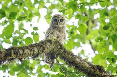 Lil' Ghoul (matthewolsonphotography.com) Tags: owl barredowl fledgling strixvaria babybird babybirds babyowl bird birdwatching birds birding wildlife