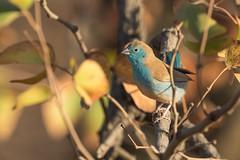 Azulito Angoleño (ik_kil) Tags: azulitoangoleño bluewaxbill uraeginthusangolensis krugernationalpark kruger waxbill southafrica
