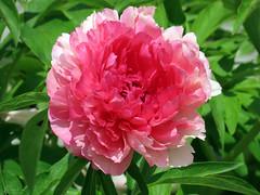 Peony WG IMG_3999 (Jennz World) Tags: ©jennifermlivick whistlinggardens wilsonville ontario canada peony peonies flower flowers