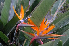 singing with colors (Riex) Tags: birdofparadise oiseaudeparadis flower fleur nature eclos blooming california californie fujifilm xh1 adapter metabones speedbooster alpa xmount fujix kernmacroswitar50mmf18lens xtrans