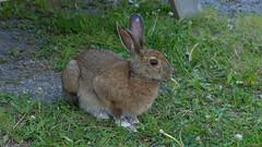 Lièvre, hare - Parc national du Bic, PQ, Canada - 2923 (rivai56) Tags: lièvre hare parcnationaldubic pq canada 2923 parc sepaq park animal