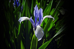 The passion of the light !! (Lopamudra !) Tags: lopamudra lopamudrabarman lopa jk india ladakh iris flora flower blue wilderness wild nature light lightandshade sunlight sunshine pretty colour color colourful cold valley vale himalaya himalayas highaltitude highland beauty beautiful suru suruvalley