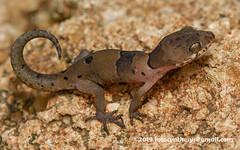Blotched Bow-fingered Gecko (Cyrtodactylus yakhuna) DSC_2856a (fotosynthesys) Tags: blotchedbowfingeredgecko cyrtodactylusyakhuna bowfingeredgecko gecko gekkonidae lizard reptile srilanka vulnerable
