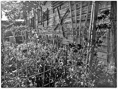 Garden Fence (2bmolar) Tags: hff garden fence bw wall antiques