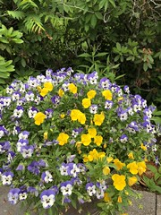 Purple and Yellow Pansies (Scorpiol13) Tags: flowers summer nature beauty yellow garden landscape outdoors purple bright blossom pansy atmosphere greenery freshness fragrance blooming floral iphoneography shotoniphone mobiography iphone8plus