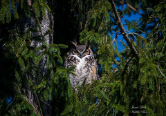 Great Horned Owl (Jamie Lenh Photography) Tags: nature wildlife birds owls greathornedowl canada ontario spring nikon tamron perch