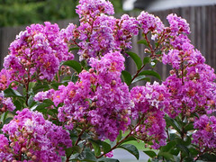 Purple Crepe Myrtle. (dccradio) Tags: lumberton nc northcarolina robesoncounty outdoor outdoors outside rain rainy raindrops drenched soaked water waterdroplets raindroplets flower floral flowers june summer summertime thursday evening thursdayevening goodevening crapemyrtle crepemyrtle flowering floweringtree bloom blooms blooming blossom blossoming blossoms pretty beauty nature natural canon powershot elph 520hs purple purpleflowers lavender