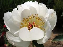 Peony WG IMG_3991 (Jennz World) Tags: ©jennifermlivick whistlinggardens wilsonville ontario canada peony peonies flower flowers
