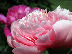 Peony WG IMG_3995 (Jennz World) Tags: ©jennifermlivick whistlinggardens wilsonville ontario canada peony peonies flower flowers