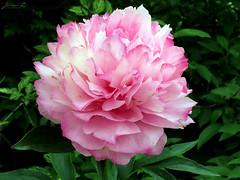 Peony WG IMG_3972 (Jennz World) Tags: ©jennifermlivick whistlinggardens wilsonville ontario canada peony peonies flower flowers