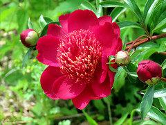 Peony WG IMG_3971 (Jennz World) Tags: ©jennifermlivick whistlinggardens wilsonville ontario canada peony peonies flower flowers