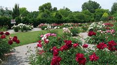 Peony WG IMG_3993 (Jennz World) Tags: ©jennifermlivick whistlinggardens wilsonville ontario canada peony peonies flower flowers